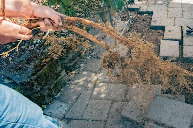 Pull out tree root under pavers